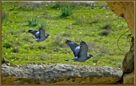 Gökçe güvercin - Columba oenas - Stock Dove (Şanlıurfa 2013)
