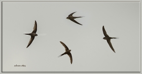 + Palmiye ebabili - Cypsiurus parvus - African palm swift (Jizan 2014)