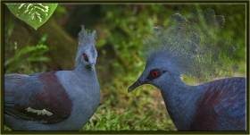 Taçlı güvercin - Goura victoria - Victoria Crowned Pigeon (Kuala Lumpur 2013)