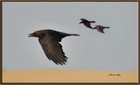 Çöl kuzgunu - Corvus ruficollis - Brown-necked Raven (Jizan 2014)