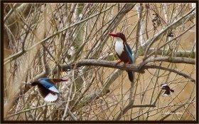 İzmir yalıçapkını - Halcyon smyrnensis - White throated Kingfisher (Osmaniye 2011