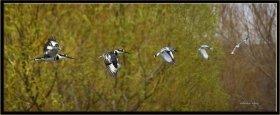 Alaca yalıçapkını - Ceryle rudis - Pied Kingfisher (Osmaniye 2011)