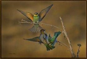 Arı kuşu - Merops apiaster - European Bee-eater (Gölbaşı 2012) 4