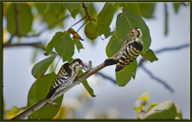 Küçük Ağaçkakan - Picoides minor (Safranbolu 2010)
