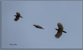 Kara ağaçkakan - Dryocopus martius - Black Woodpecker (Ankara 2014)