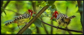 Sarı kırmızı barbet - Trachyphonus erythro ... and yellow Barbet (Kuala Lumpur 2013)