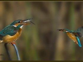 Yalıçapkını - Alcedo atthis - Kingfisher (Ankara 2015) 4