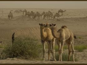 Çöl devesi - Camelus doremedarius (Jizan 2014)