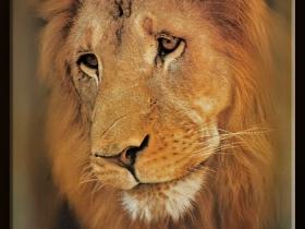 Aslan - Panthera leo (AOÇ 1979))