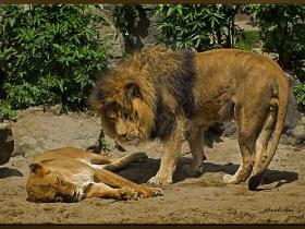 Aslan - Panthera leo (Amsterdam 2012)