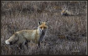 Tilki - Vulpes vulpes (Gölbaşı 2011)