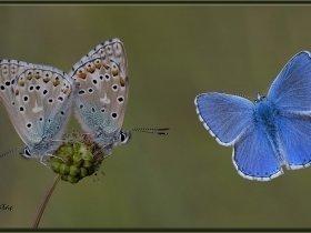 Çokgözlü Gökmavisi - Polyommatus bellargus - Adonis Blue (Ankara 2015)