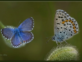 Bavius mavisi - Rubrapterus bavius - Bavius Blue (Ankara 2015)