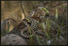 Çizgili yeşil kertenkele - Lacerta strigata - Caspian green lizard (Ankara 2014)