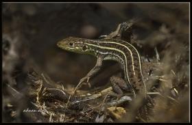 Çizgili yeşil kertenkele - Lacerta strigata - Caspian green lizard (Ankara 2015)