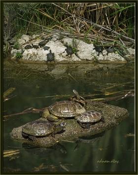 Bataklık kaplumbağası - Geoemydidae (Ankara 2014)