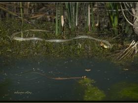Hazer yılanı - Dolichophis Caspius ve su yılanı - Natrix tessellata (Ankara 2014)