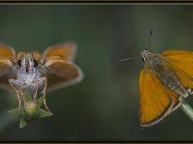Sarı Antenli Zıpzıp - Thymelicus sylvestris (Ankara 2014) 2