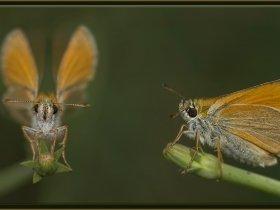 Sarı Antenli Zıpzıp - Thymelicus sylvestris (Ankara 2014)