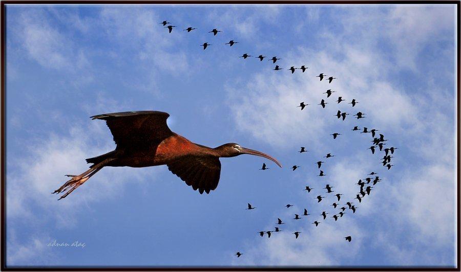 Çeltikçi - Plegadis falcinellus - Glossy Ibis (Gölbaşı 2010) 2