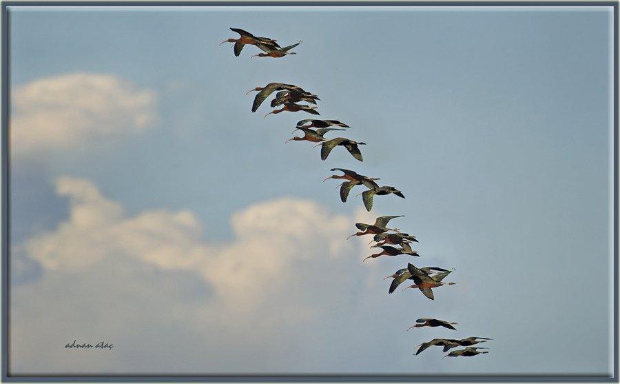 Çeltikçi - Plegadis falcinellus - Glossy Ibis (Gölbaşı 2012) 2