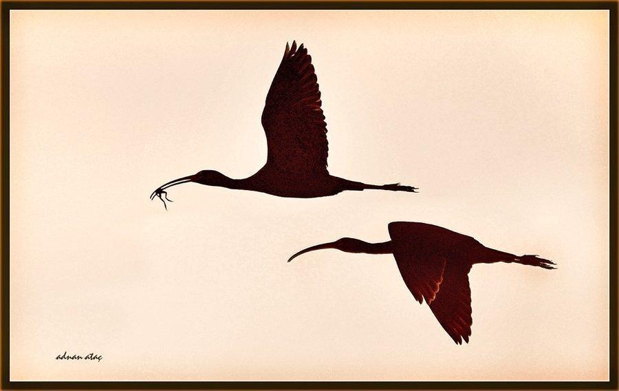Çeltikçi - Plegadis falcinellus - Glossy Ibis (Kozanlı 2010)