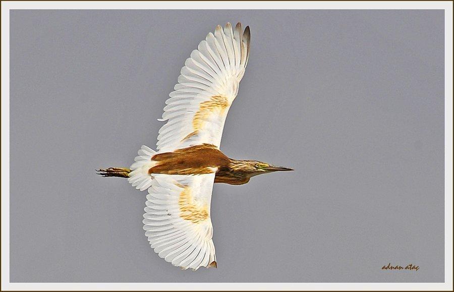 Alaca Balıkçıl - Ardeola ralloides - Squacco Heron (Gölbaşı 2010) 3