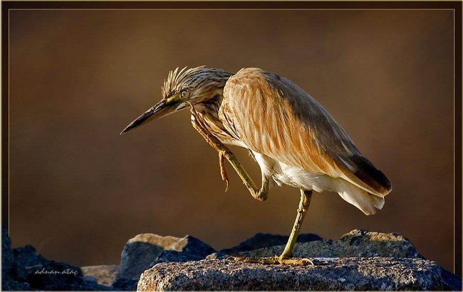 Alaca Balıkçıl - Ardeola ralloides - Squacco Heron (Gölbaşı 2010) 4