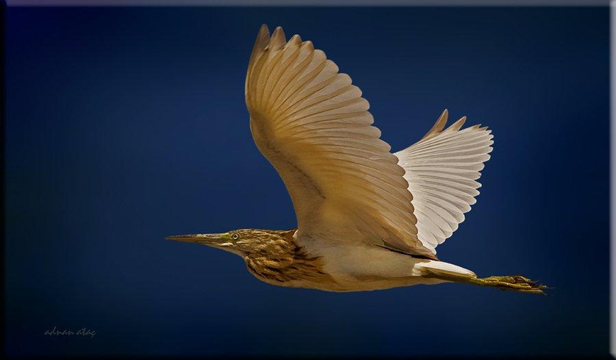 Alaca Balıkçıl - Ardeola ralloides - Squacco Heron (Gölbaşı 2010) 6