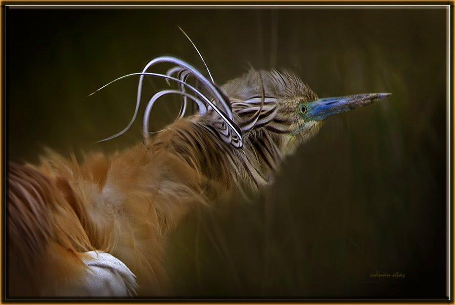 Alaca Balıkçıl - Ardeola ralloides - Squacco Heron (Gölbaşı 2011) 1