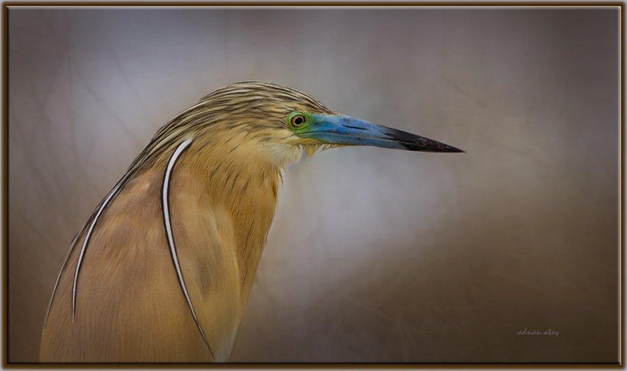 Alaca Balıkçıl - Ardeola ralloides - Squacco Heron (Gölbaşı 2011) 2