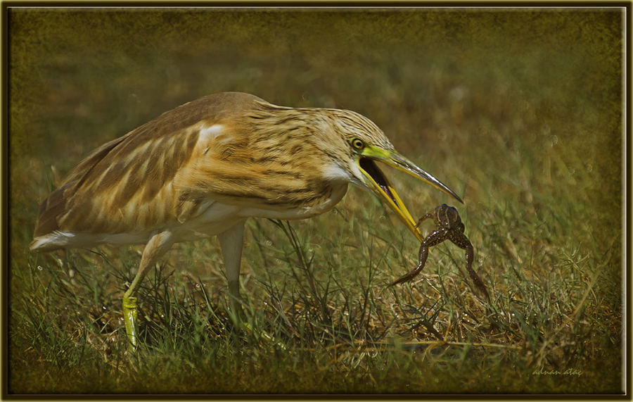 Alaca Balıkçıl - Ardeola ralloides - Squacco Heron (Gölbaşı 2011) 3