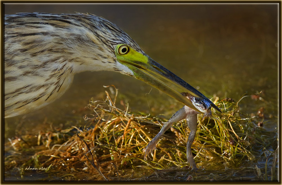 Alaca Balıkçıl - Ardeola ralloides - Squacco Heron (Gölbaşı 2011) 4