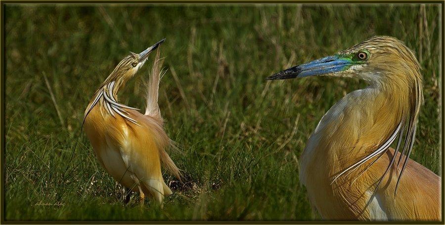 Alaca Balıkçıl - Ardeola ralloides - Squacco Heron (Gölbaşı 2012) 1