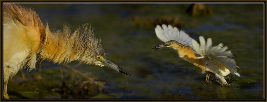 Alaca Balıkçıl - Ardeola ralloides - Squacco Heron (Gölbaşı 2012) 2