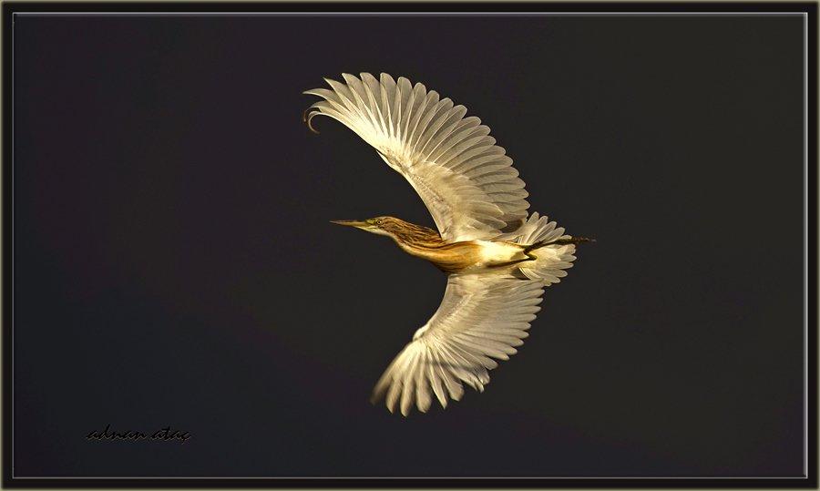 Alaca Balıkçıl - Ardeola ralloides - Squacco Heron (Gölbaşı 2014)