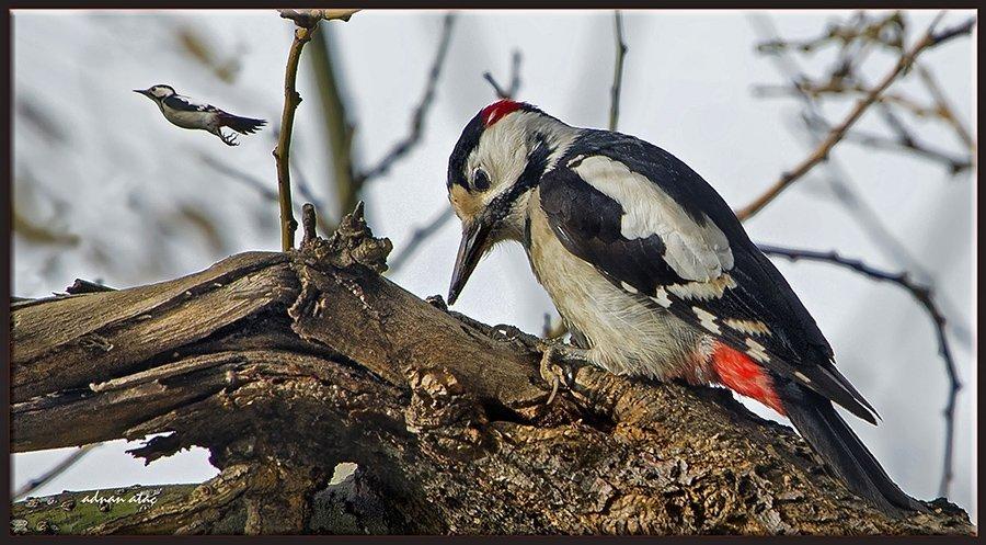 Alaca ağaçkakan - Dendrocopos syriacus (Gaziantep 2013)