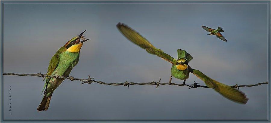Arı kuşu - Merops apiaster - European Bee-eater (Gölbaşı 2013) 2