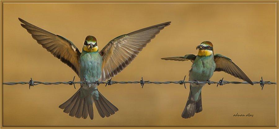 Arı kuşu - Merops apiaster - European Bee-eater (Gölbaşı 2013) 3