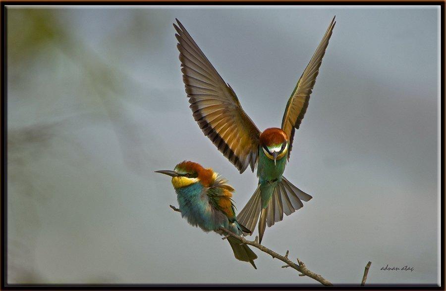 Arı kuşu - Merops apiaster - European Bee-eater (Sakarya 2011) 1
