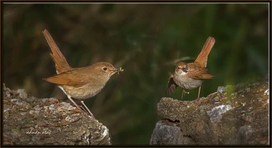 Bülbül - Luscinia megarhynchos - Common Nightingale (Ankara 2014) 2