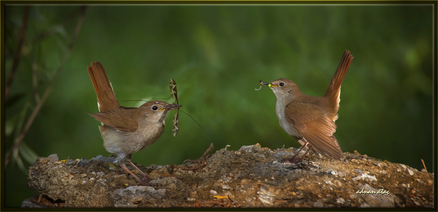 Bülbül - Luscinia megarhynchos - Common Nightingale (Ankara 2014) 3