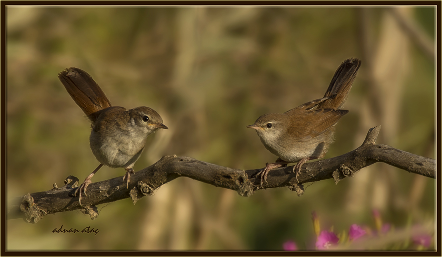 Bülbül - Luscinia megarhynchos - Common Nightingale (Ankara 2014) 4