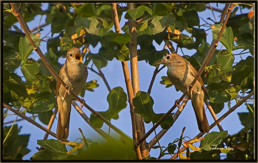 Bülbül - Luscinia megarhynchos - Common Nightingale (Sapanca 2013)
