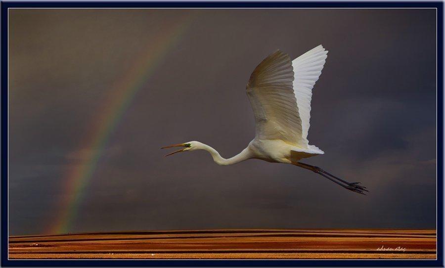 Büyük ak balıkçı - Casmerodius albus - Great egret (Gölbaşı 2010) 1