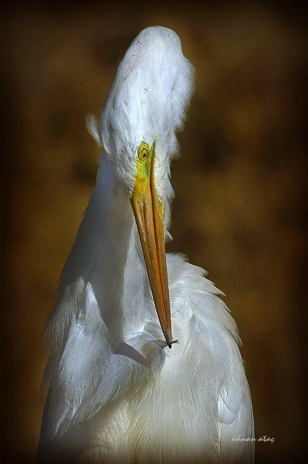 Büyük ak balıkçı - Casmerodius albus - Great egret (Gölbaşı 2011) 10