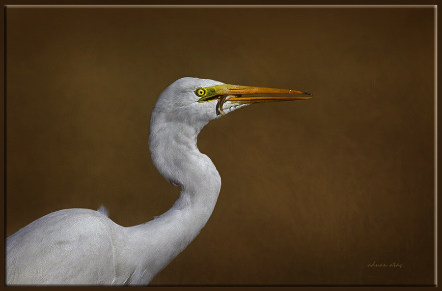 Büyük ak balıkçı - Casmerodius albus - Great egret (Gölbaşı 2011) 1