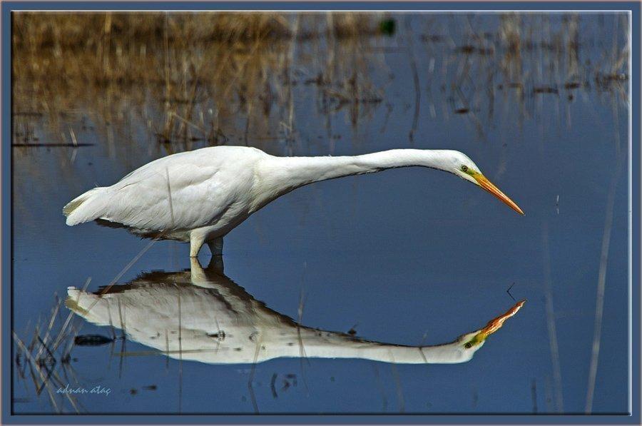 Büyük ak balıkçı - Casmerodius albus - Great egret (Gölbaşı 2011) 2