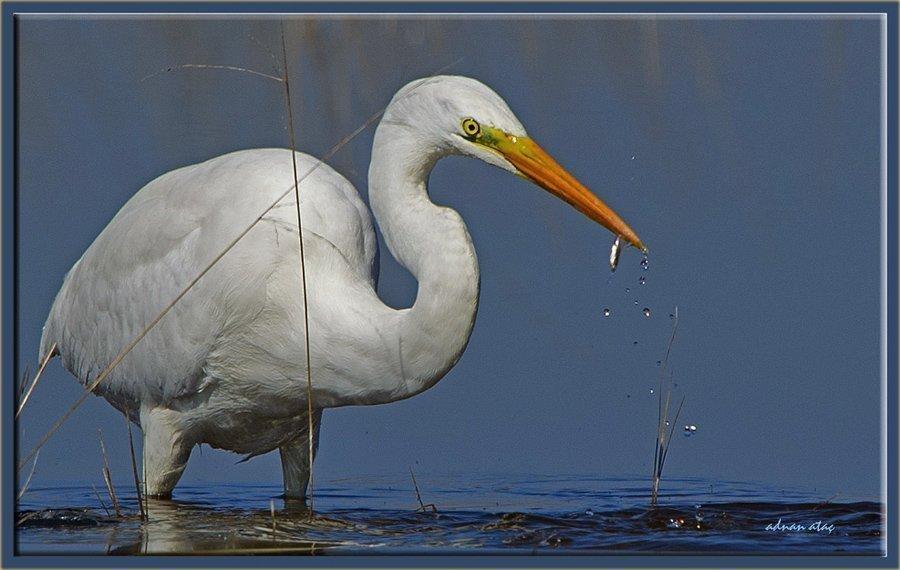 Büyük ak balıkçı - Casmerodius albus - Great egret (Gölbaşı 2011) 3