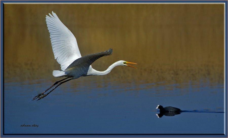 Büyük ak balıkçı - Casmerodius albus - Great egret (Gölbaşı 2011) 5